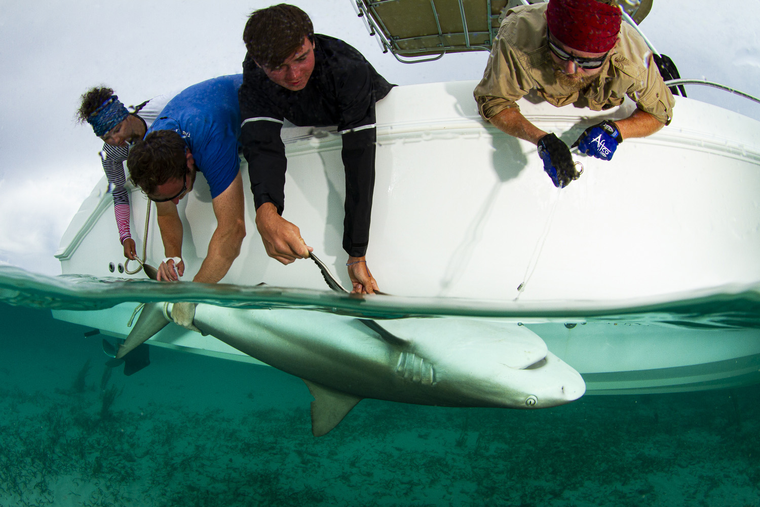 Expedition leader Dr. Tristan Guttridge leads a Caribbean reef shark 'work up', with guest support