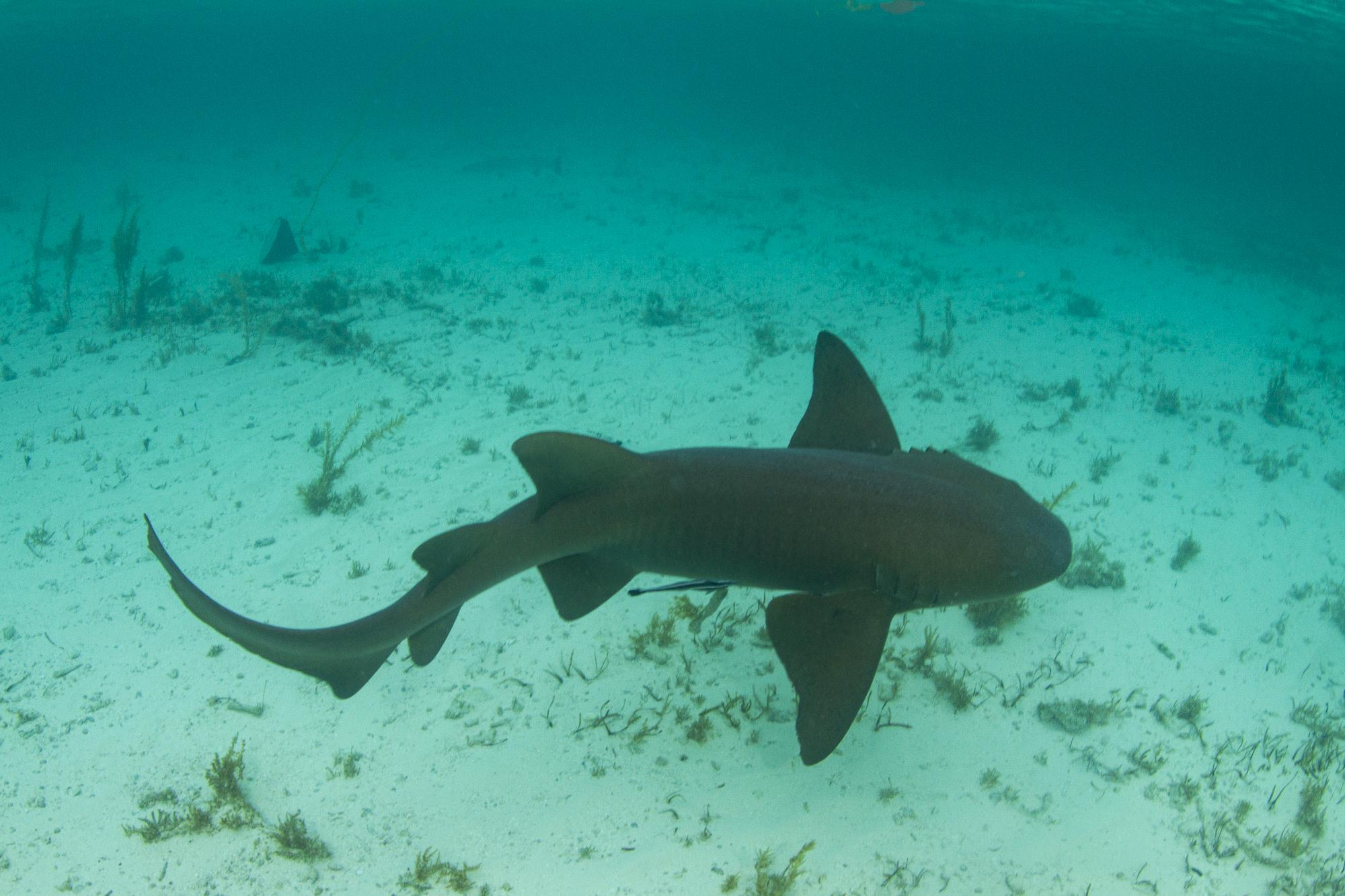 A nurse shark swims away strong on release