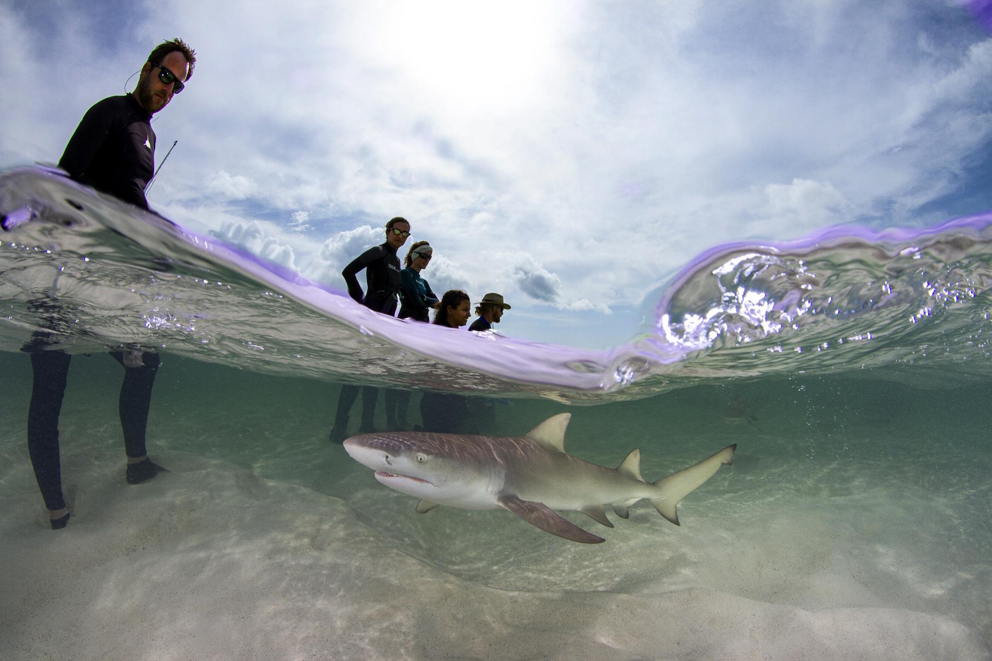 Our final morning was FULL of lemon shark action!