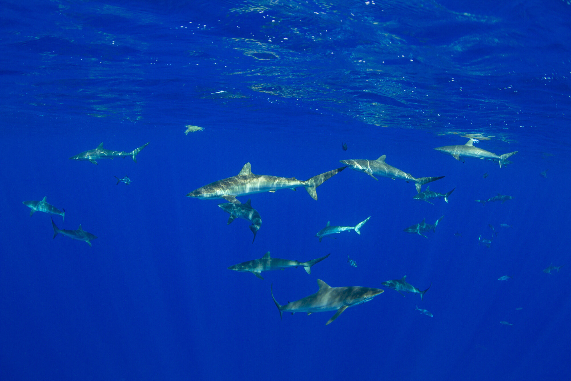 Over 40 silky sharks were present on arrival, with no bait in the water; these pelagic sharks are naturally pulled towards the Navy buoy to hunt