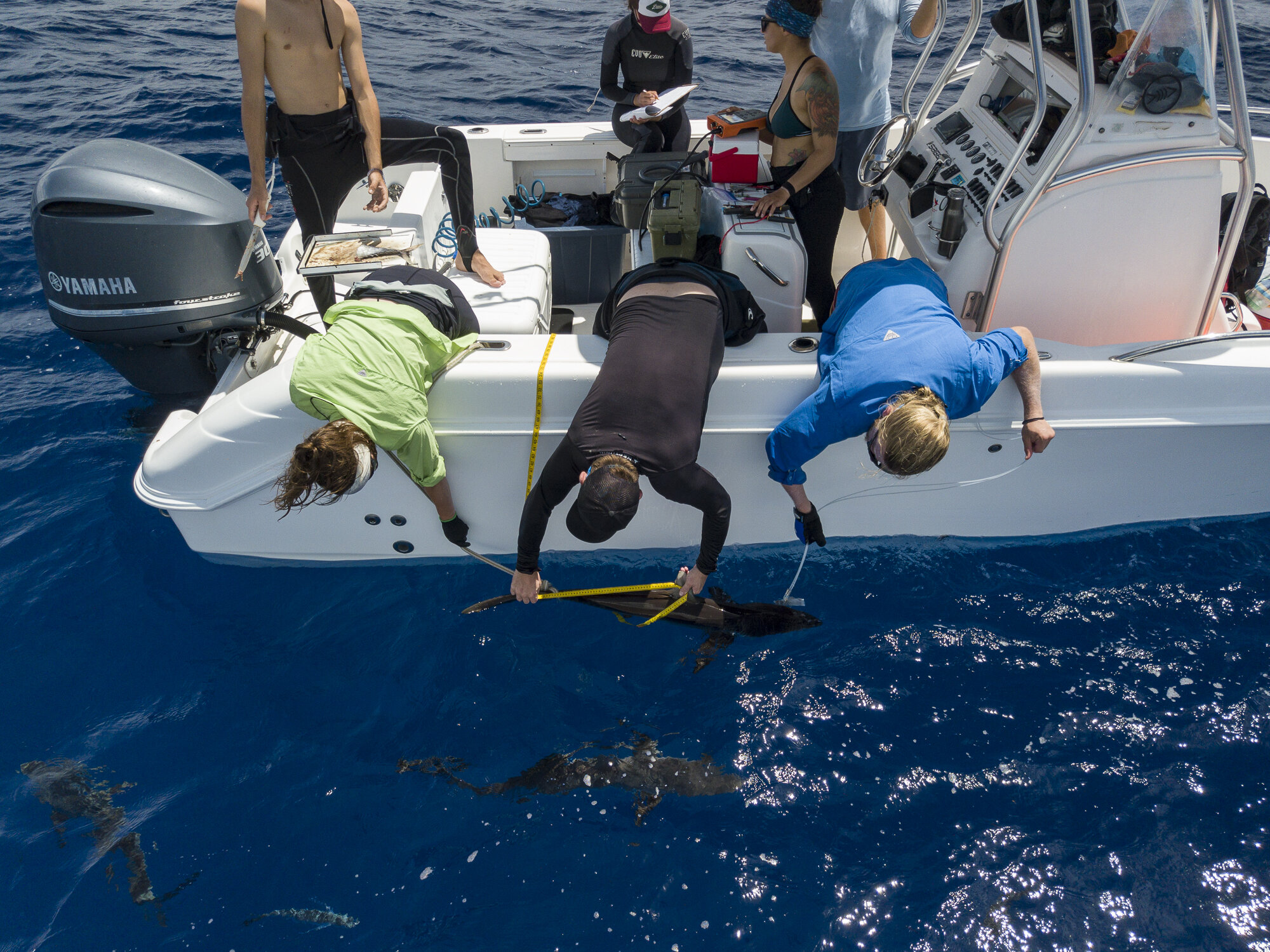 One of three silky sharks caught for research