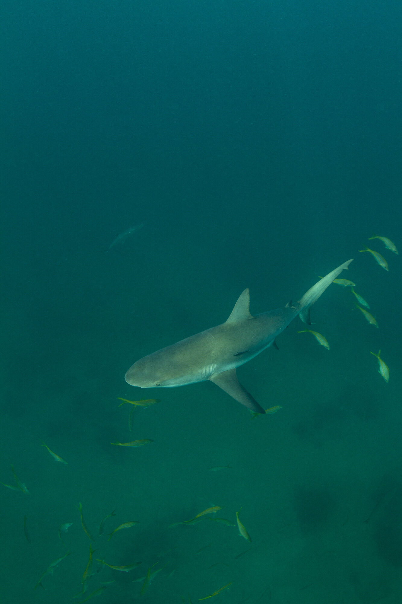 One of at least five sharks present