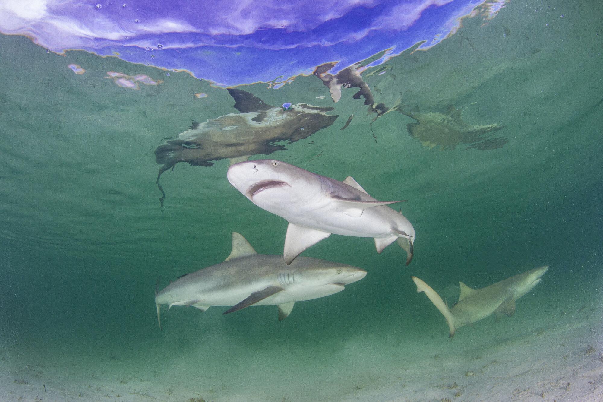 Lemon sharks made consistent, close passes