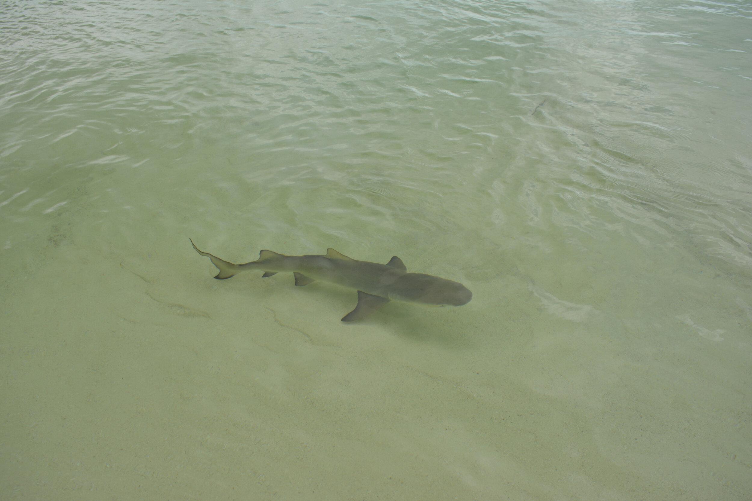 A shy lemon shark, one of approximately five
