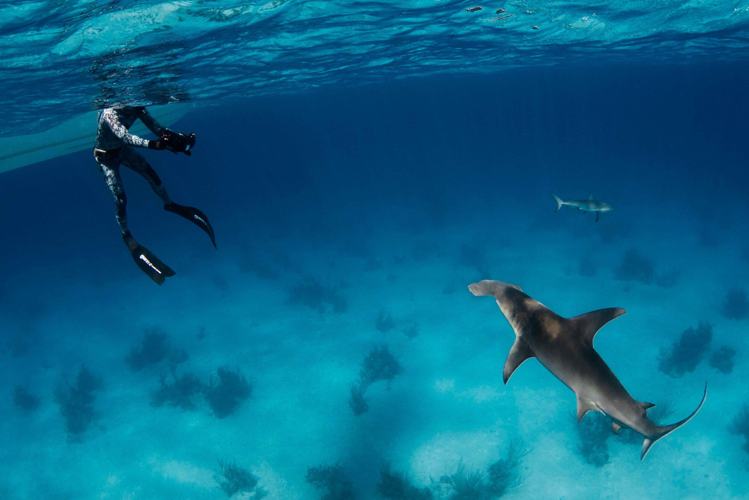 Annie Guttridge Hammerhead Shark.jpeg