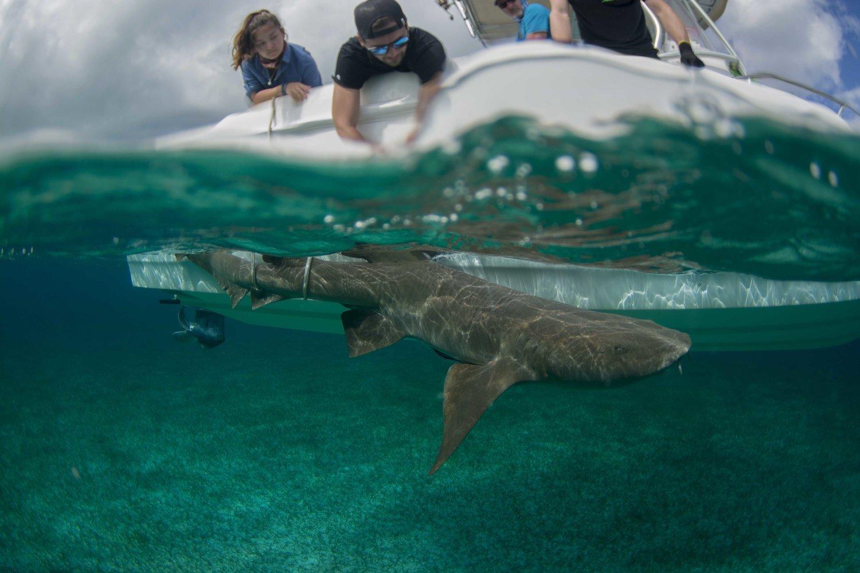 Silent Hunter - Annie Dr Tristan Guttridge -Sharks - Shark - Hammerhead - The Bahamas - Andros - Shark Diving - Eco - Eco Tourism - Shark Tagging -.jpg
