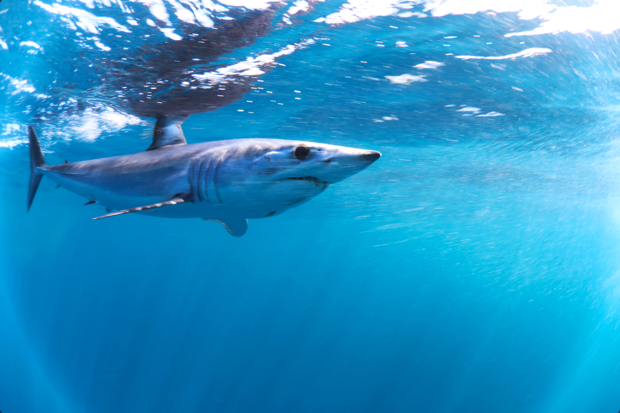 Mako Shark - The Silent Hunter - Discovery Channel - Shark Week -  Shark - Sharks - Mexico - Cabo - Shark Diving - Dr Tristan Guttridge - Annie Guttridge .jpg