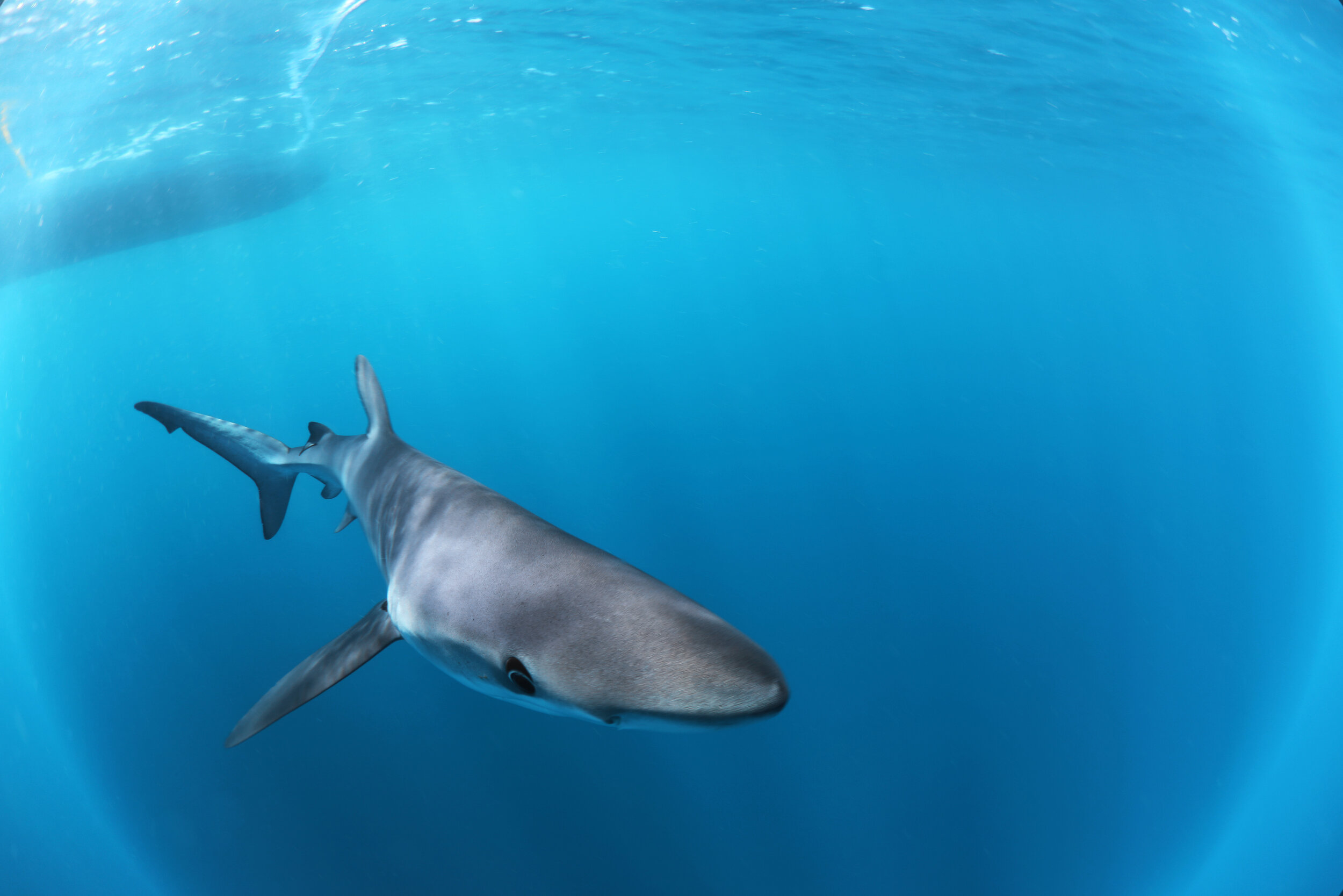 Blue Shark - Shark - Sharks - The Silent Hunter Group - Discovery Channel - Shark Week -  Silent Hunter - Tristan Guttridge - Annie Guttridge - Shark Diving .jpg