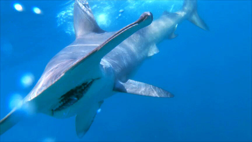 Hammerhead Shark - The Silent Hunter - Discovery Channel - Shark Week - Shark - Sharks - Mexico - Cabo - Shark Diving - Dr Tristan Guttridge - Annie Guttridge.jpg