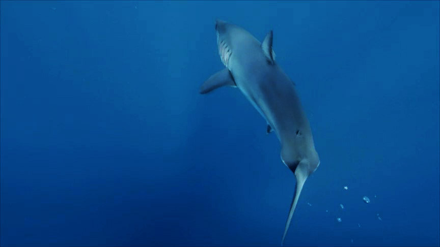 White Shark - Great white - Discovery Channel - Shark Week -  The Silent Hunter - Shark - Sharks - Mexico - Cabo - Shark Diving - Dr Tristan Guttridge - Annie Guttridge .jpg