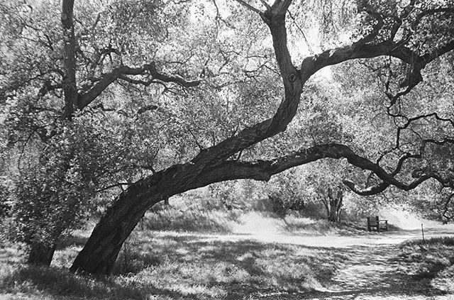 Has been almost a year since visiting my sister in California, so looking back on some photos. These are oak trees, a few of many inside Descanso Gardens. They're majestic and yet they embrace you. Unlike maple trees, oak trees are generous to their smaller plant neighbors surrounding their trunks — by possessing a long taproot,  grasses that grow beneath these humble oaks can survive and thrive, becoming a canvas for the sun-seeped silhouettes of overhanging branches.