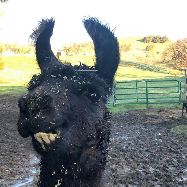 😃 (this is is a llama, not an alpaca. But it's ok I still like him)