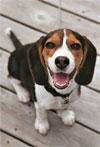 beagle_puppy.jpg
