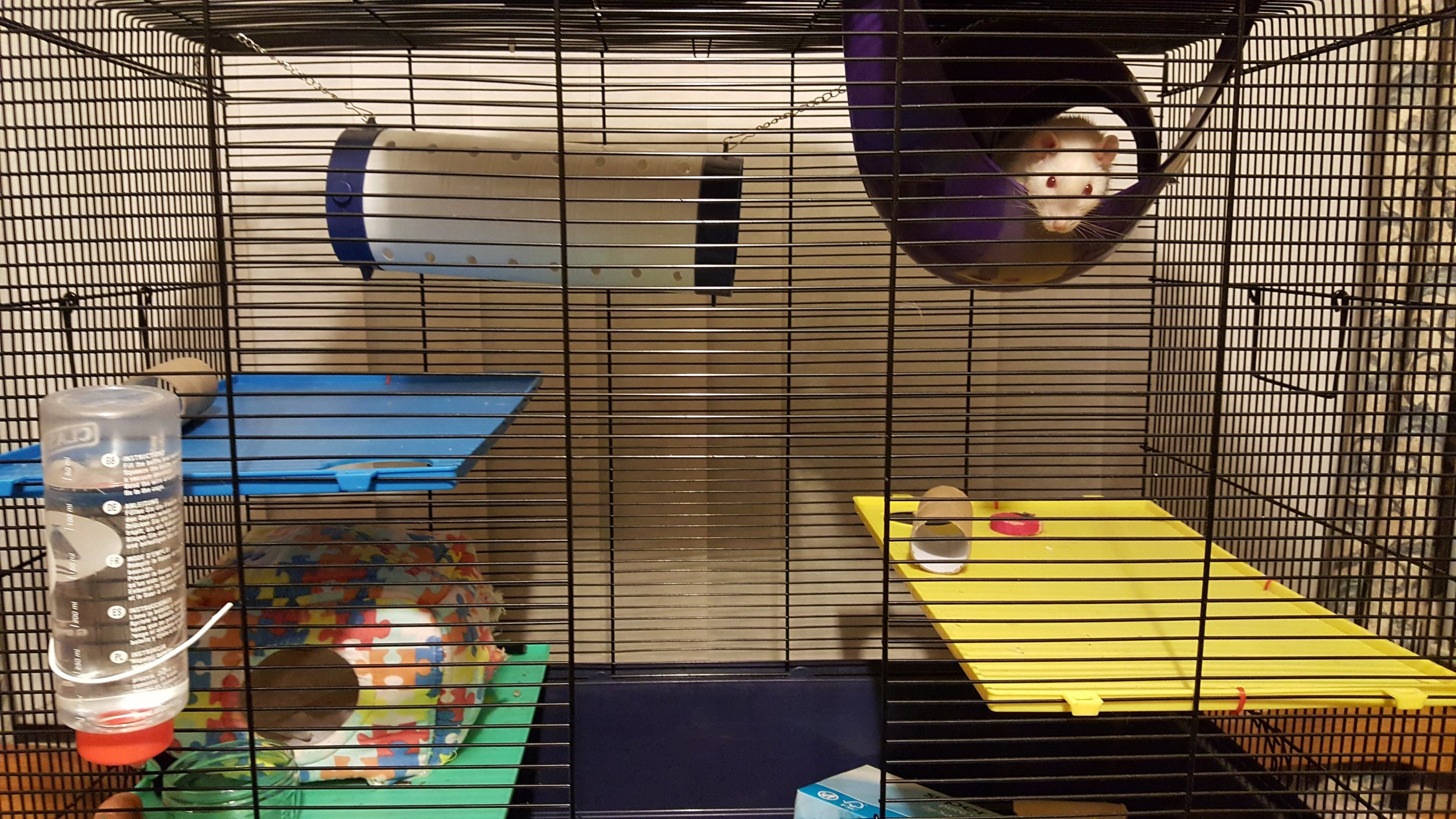 One of our rat enclosures as demonstrated by Lottie (in the sputnik at the top). Additional shelving is available for climbing and tubing is available for smaller rats.