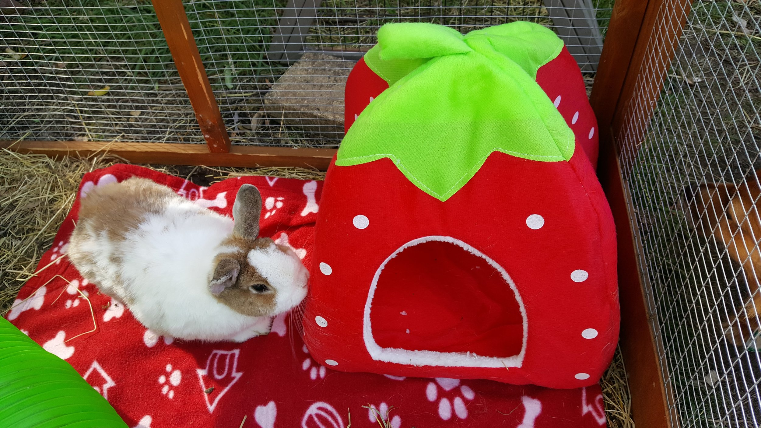 "BUN BUN  is our lovely little Netherland Dwarf bunny. She is two years old. Her ""gotcha"" date is 7th April 2019 and she is 2 years old.  There is nothing Bun Bun likes more than chilling out in the sunshine -whenever the sun puts in an appearance. She enjoys being part of Hoppy Holidays and loves watching the other bunnies and her adopted sisters. And she loves Enzo to bits and loves to give him bunny kisses on his nose!   LIKES  relaxing, the occasional bunny chocolate drop and having her ears stroked.   DISLIKES  having to wait for food. And being cleaned out. It makes her thump!"