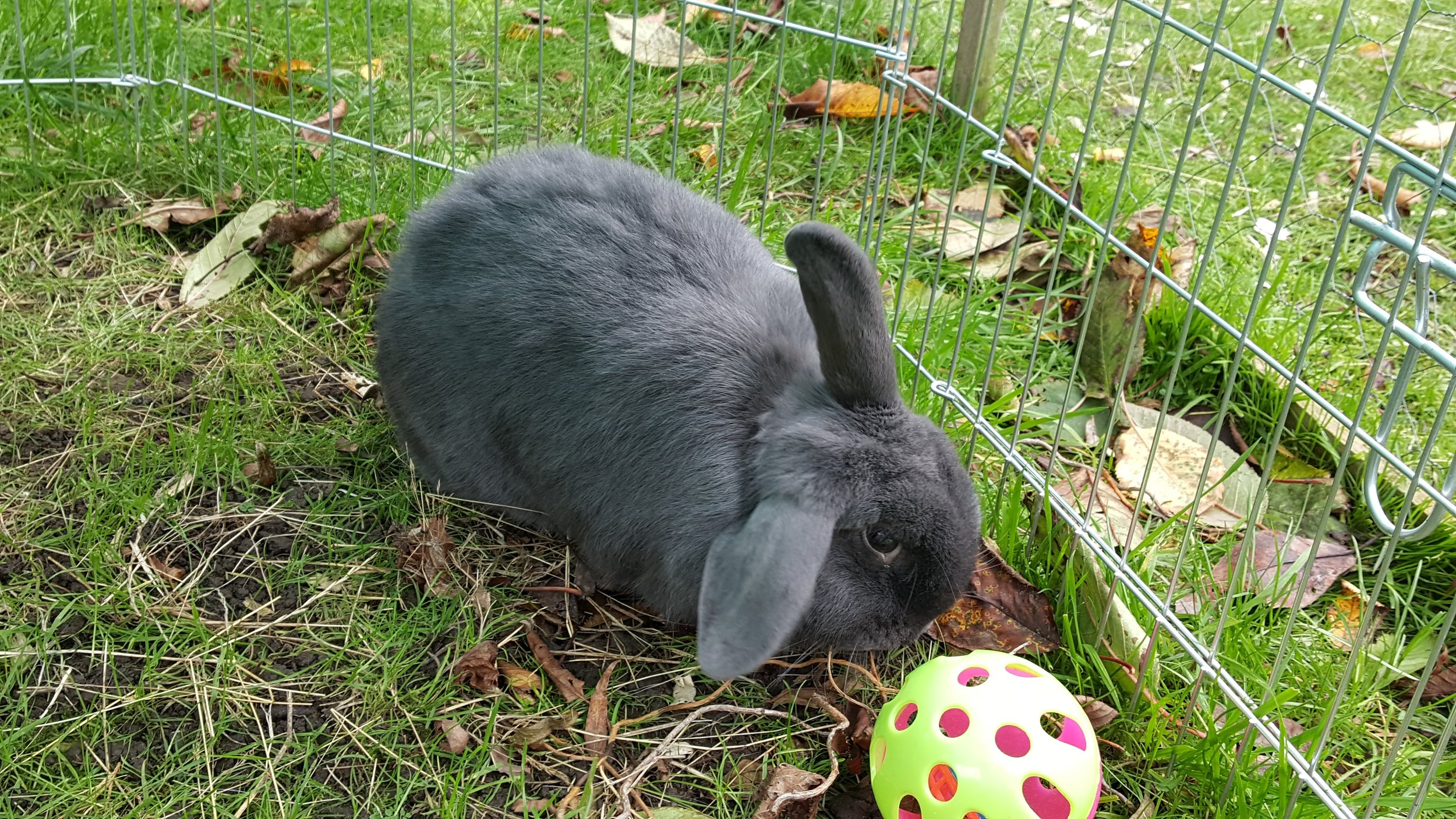 "SKITTLES  is our lovely mixed breed one ear up and one ear down bunny! She is around three years old and we don't know her exact birthday but her ""gotcha"" date is 20th April 2019. Like Bun Bun, she has settled beautifully and loves her adopted sisters and doggy brother!  Skittles is the first bunny we have had who didn't have a great start and she was re-homed to a couple who did a wonderful job with her. She has grown from a bunny who didn't even want to be stroked into a happy, friendly and confident girl who loves to be petted and to interact with everyone!   LIKES  spinach, kale and bunny biscuits (not too many though)! Also loves to greet people and especially likes children. She is another member of the Enzo fan club!   DISLIKES  having to wait for her veggies to be put down so she can tuck in. Both Skittles and Bun Bun think we need to hurry up a bit when it comes to serving rabbit dinners!"