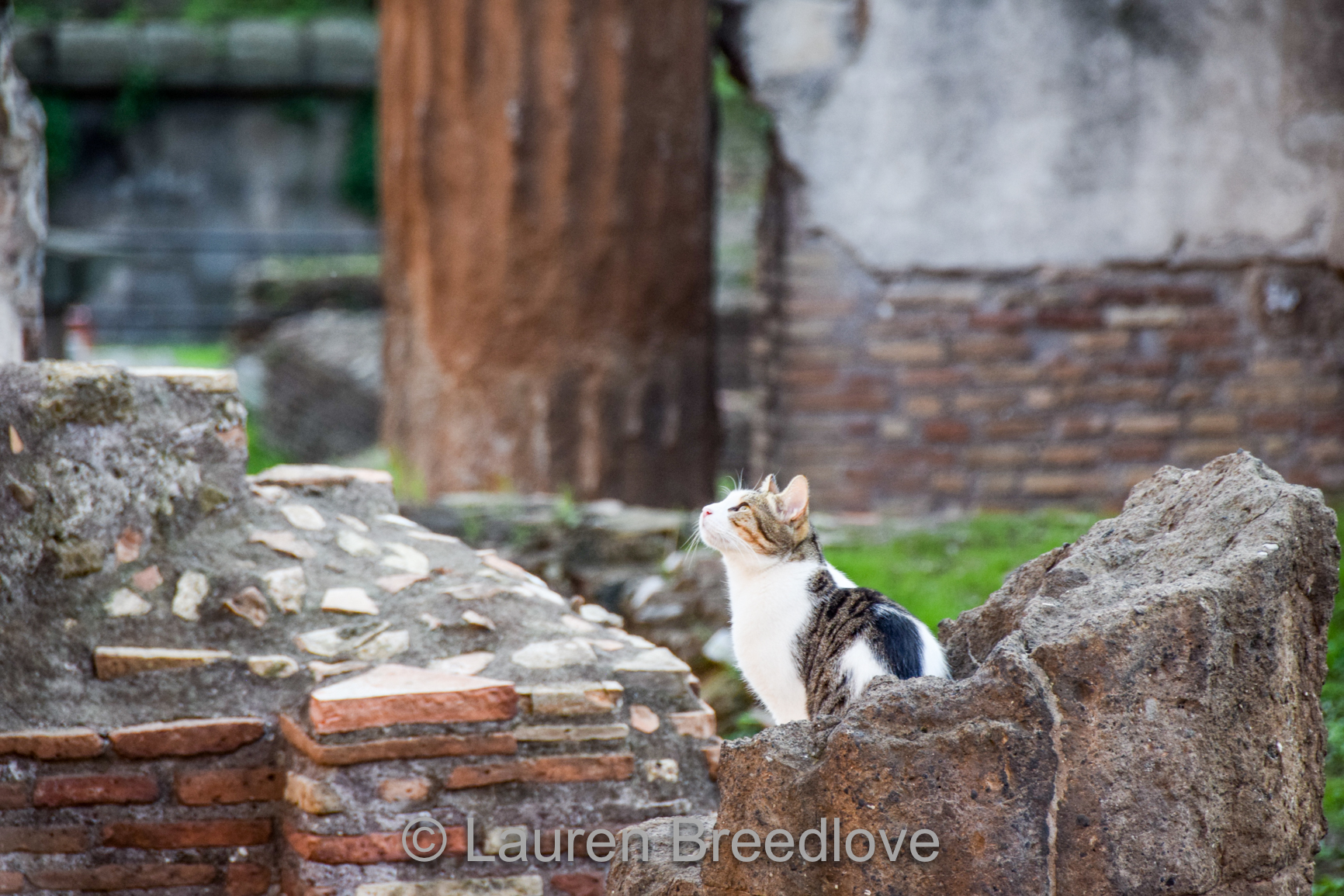 Romancat.jpg