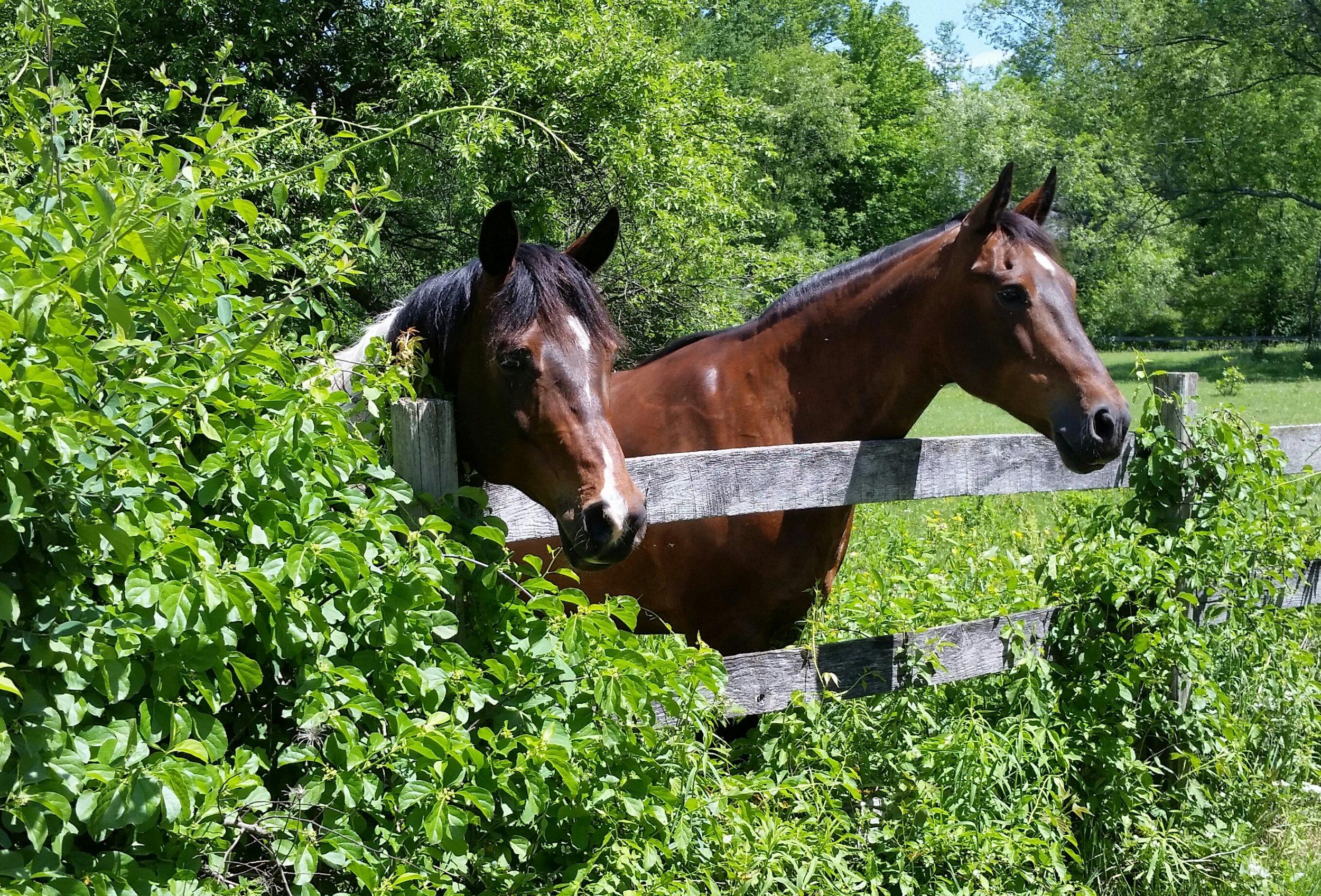 Bonnie's Horses – Pawnee and Freddie