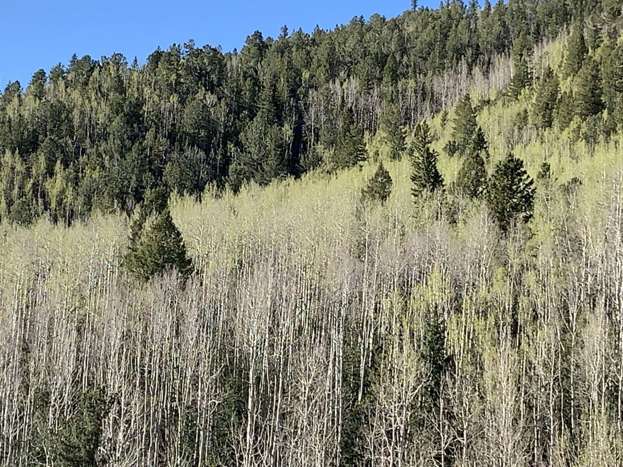 A look at the barely budding Aspens