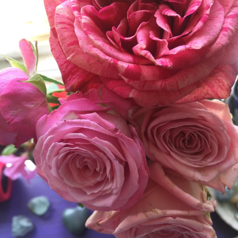 Pink roses close-up purple background Josette LeBlanc
