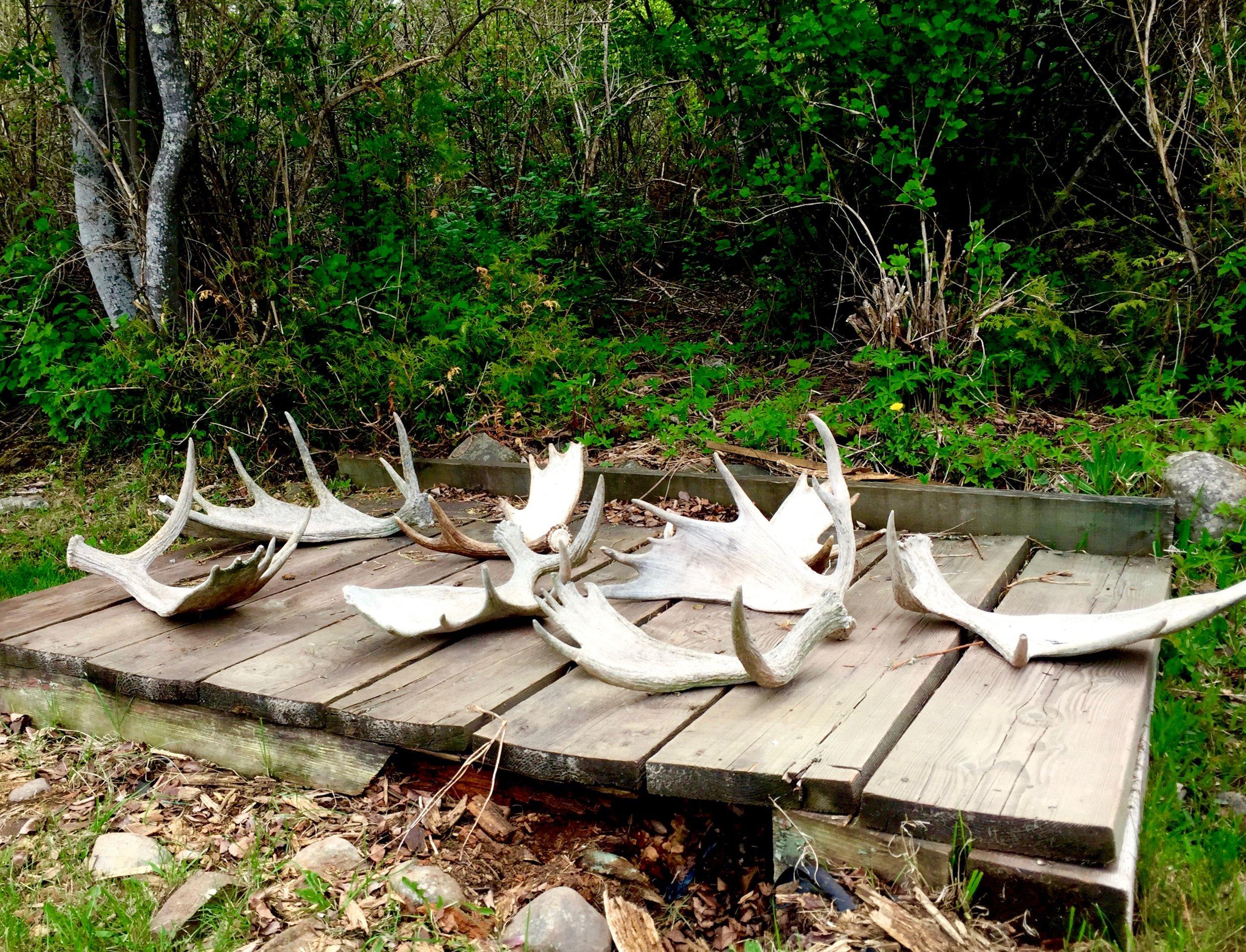6 - Moose Antlers.jpg