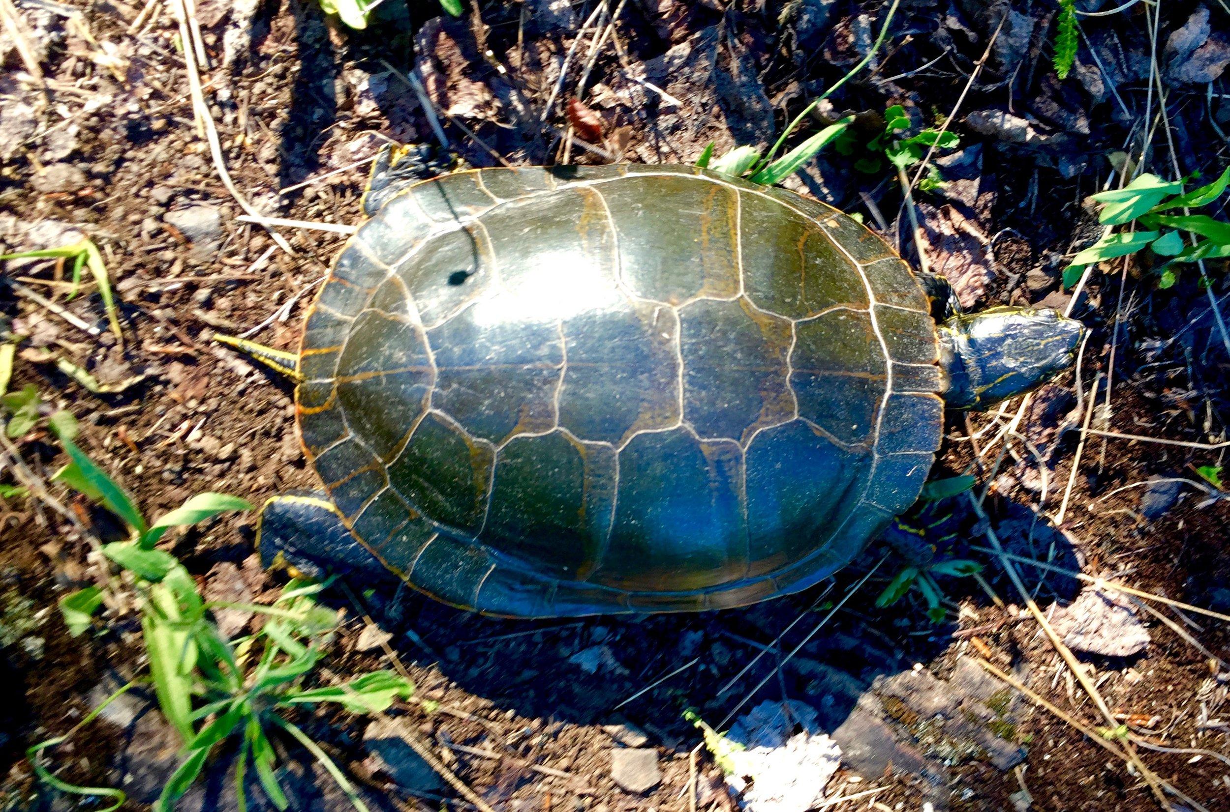 24 - Turtle.jpg