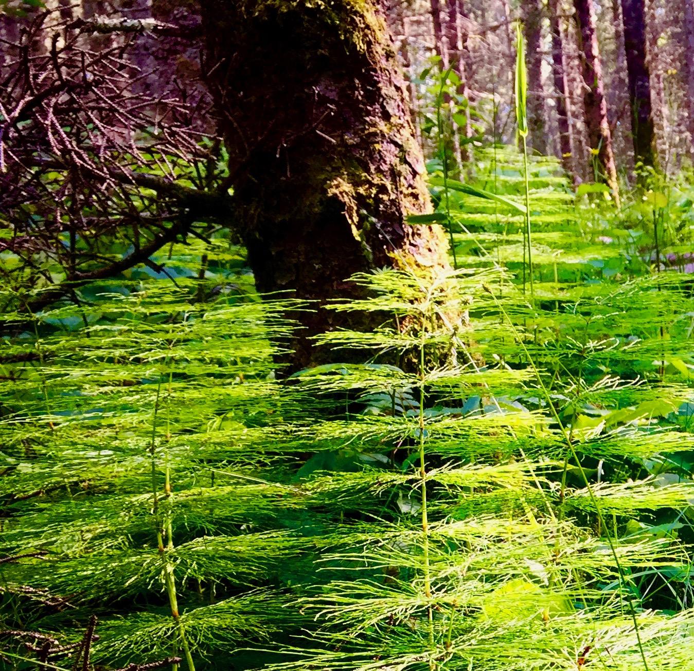 Prehistoric Horsetail Ferns.jpg