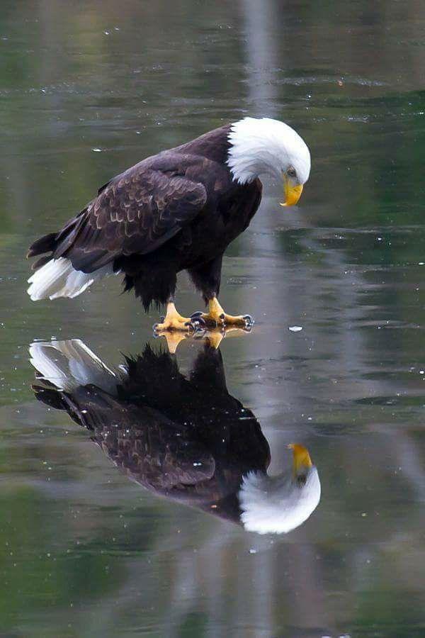 an eagle on ice.jpg
