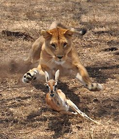a lioness.jpg