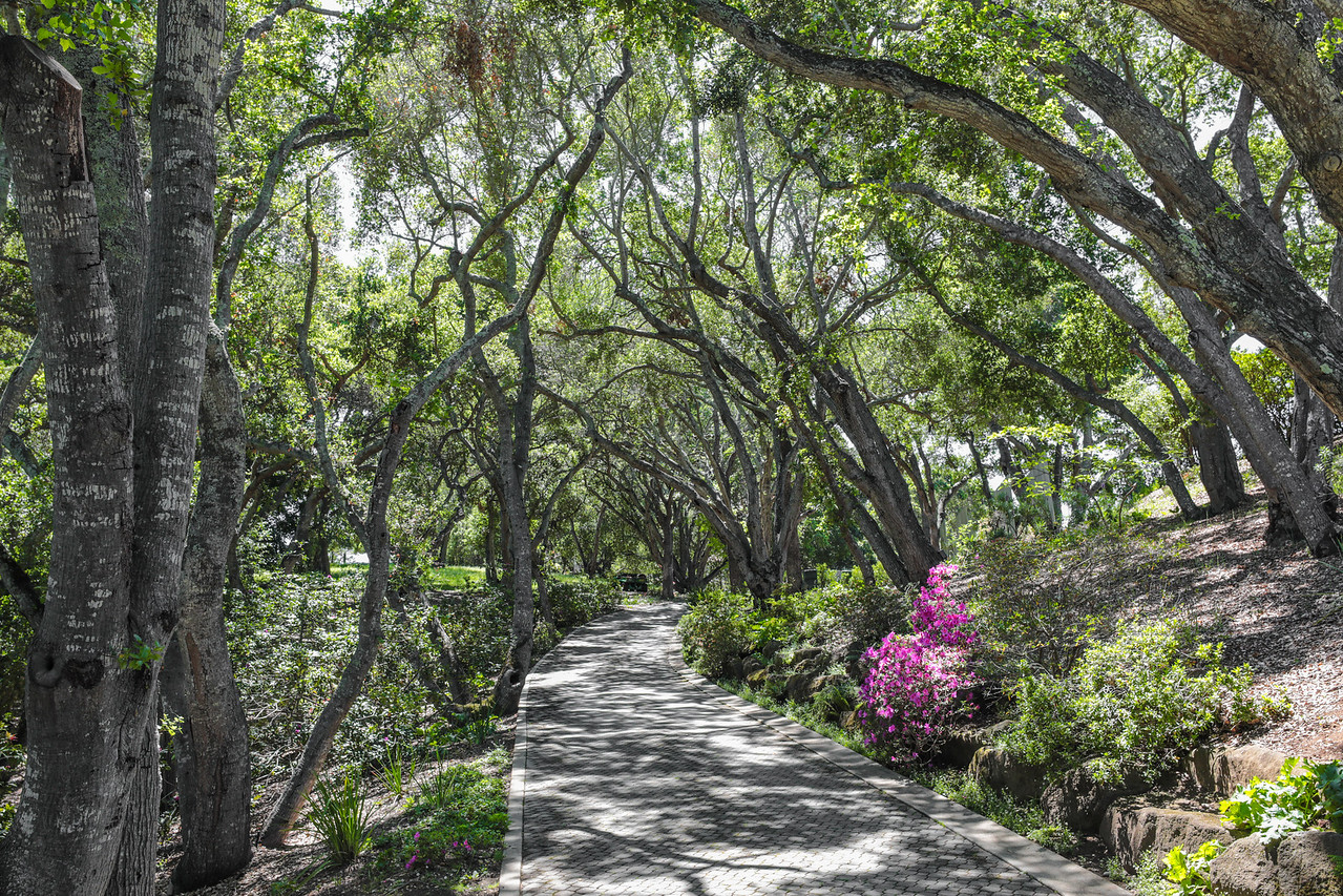 Driveway entrance, framed by Live Oaks