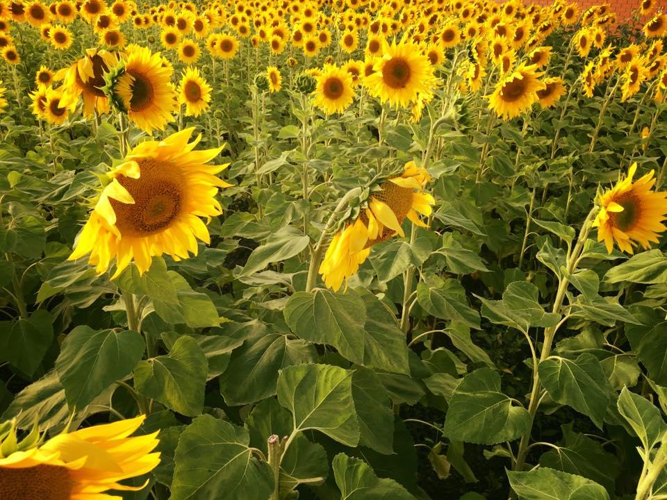 Get Sunflowered | Latrobe Valley | Victoria , AU
