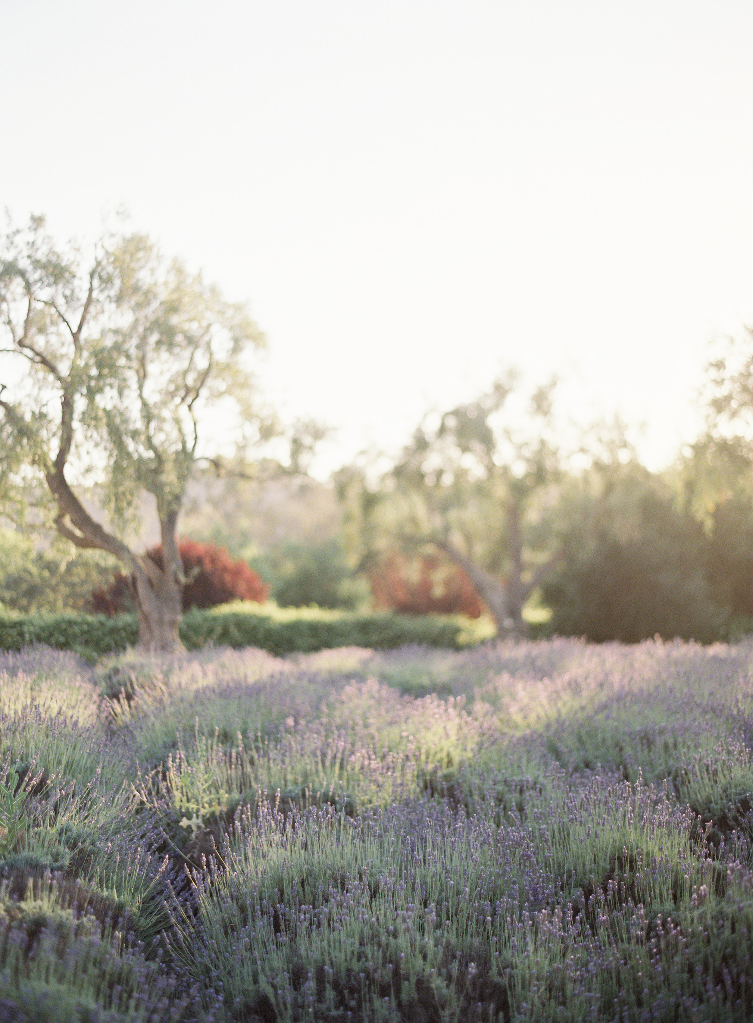4. - If you're not too tipsy, drive a little out of the way and you'll see quaint farms, vineyards and beautiful private roads. Make sure to visit Clairmont Farm Lavender Co. (2480 Roblar Ave, Los Olivos, CA 93441) to explore their lavender field and pick up some natural lavender products.