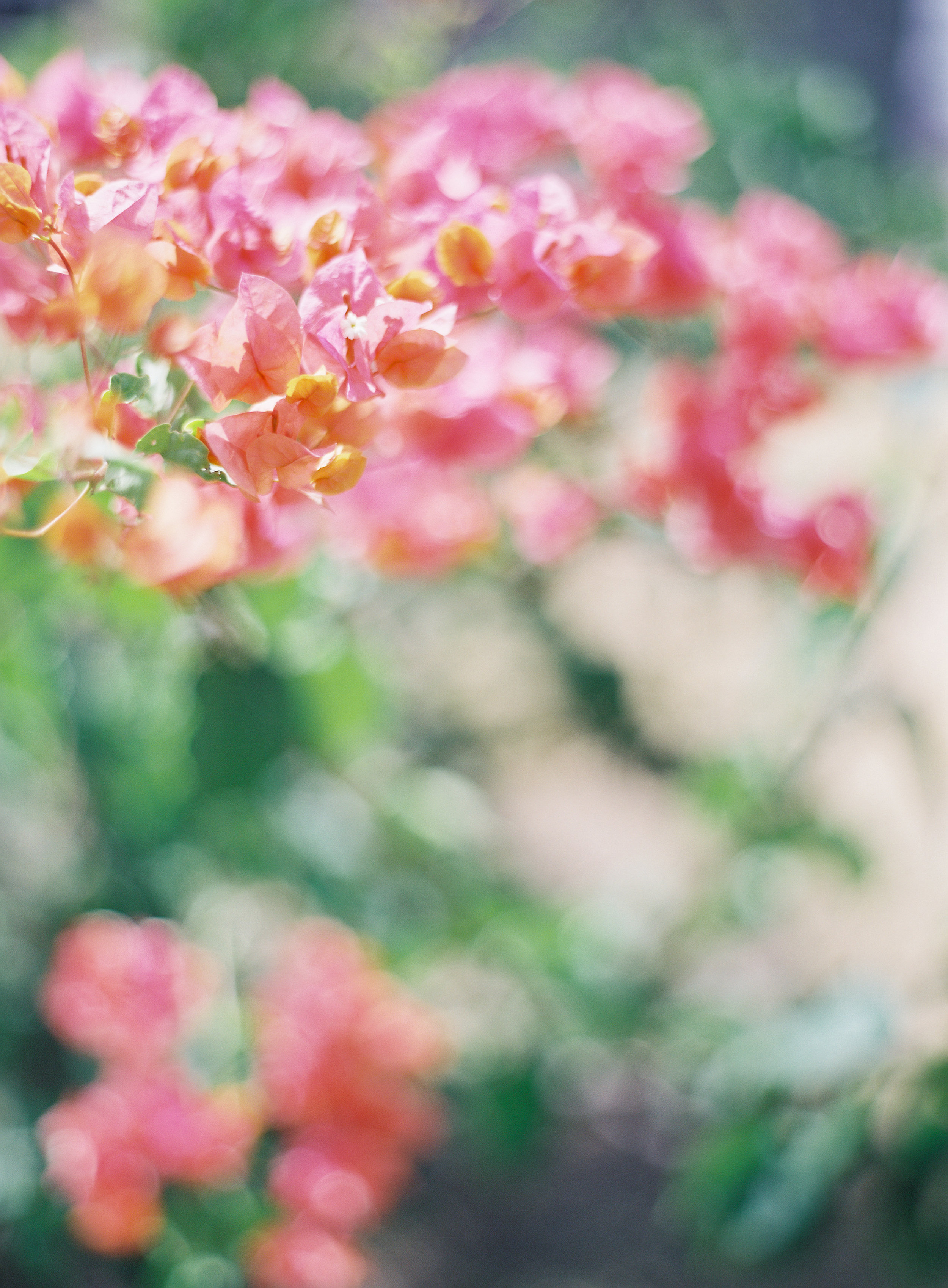 3. - Bougainvillea. This statement Santa Barbara shrub is extremely water wise, in fact it blooms more during the dry season.