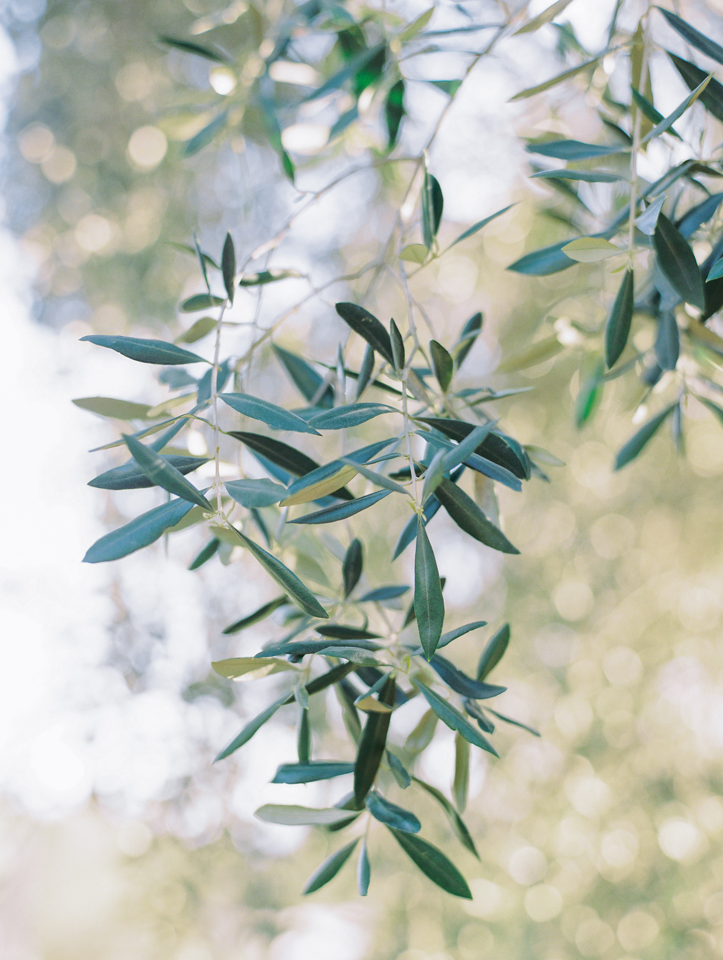 5. - Olive trees. It wouldn't feel like a home without a grove of olives. We're planing six along the side of the house for a tree-lined path.