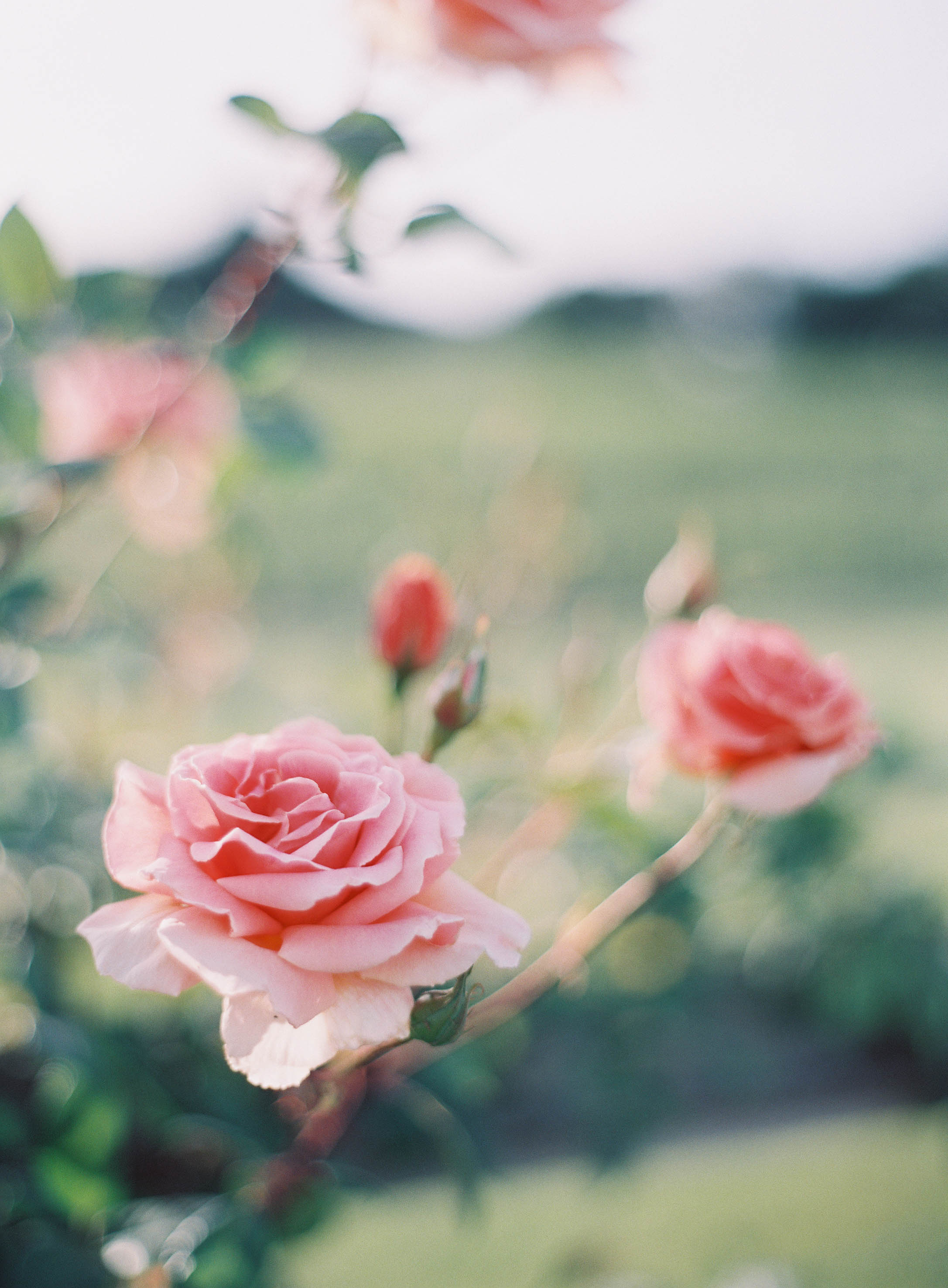 7. - Garden Roses. As opposed to popular belief, roses are very hardy and don't need much water. That's why they're grown around wineries and grapes. My favorite garden roses are Iceberg Roses which can be planted in groves or on a trellis.