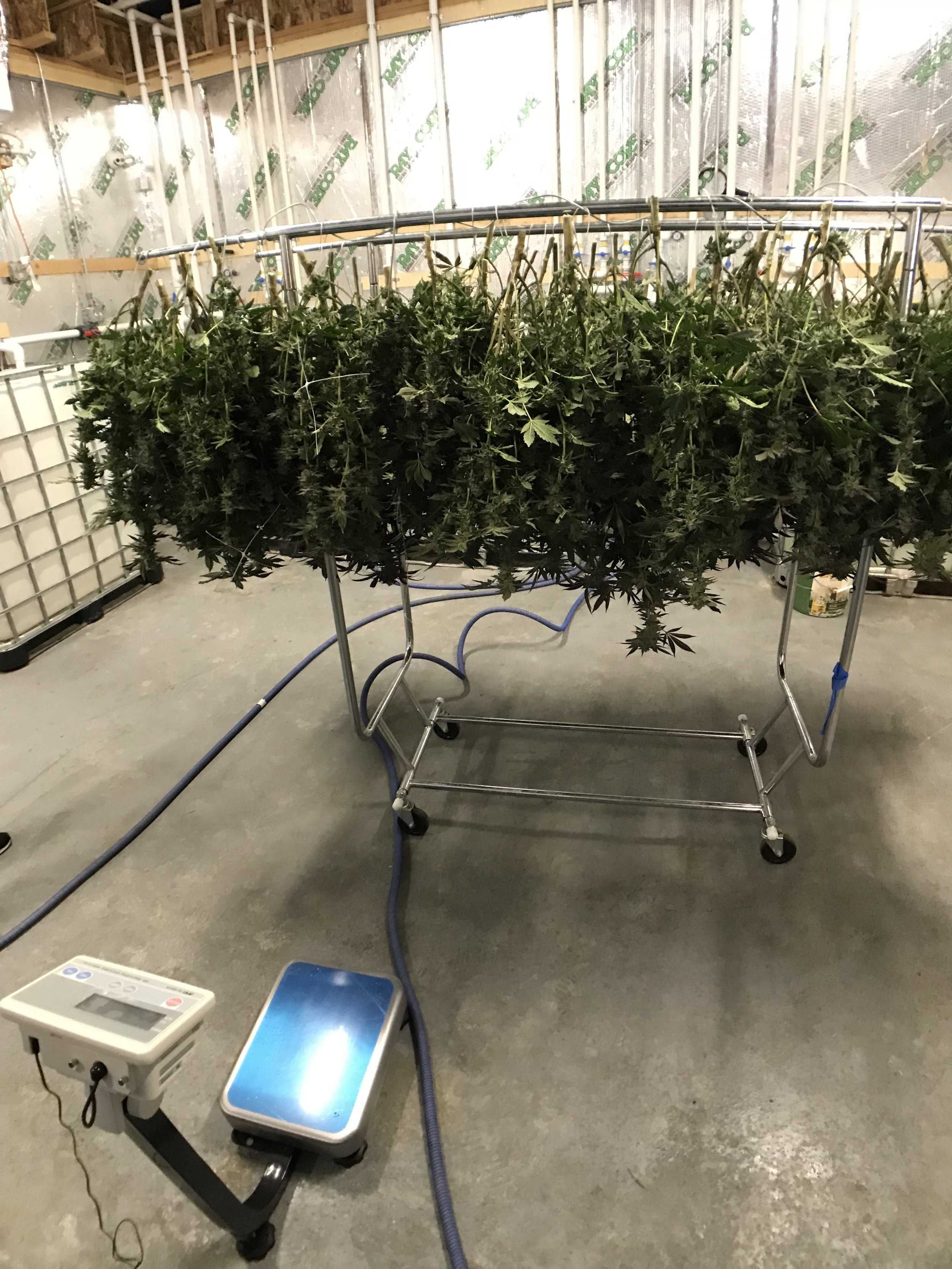 Weighing Harvest into METRC Track & Trace System at licensed facility in Adelanto, CA.