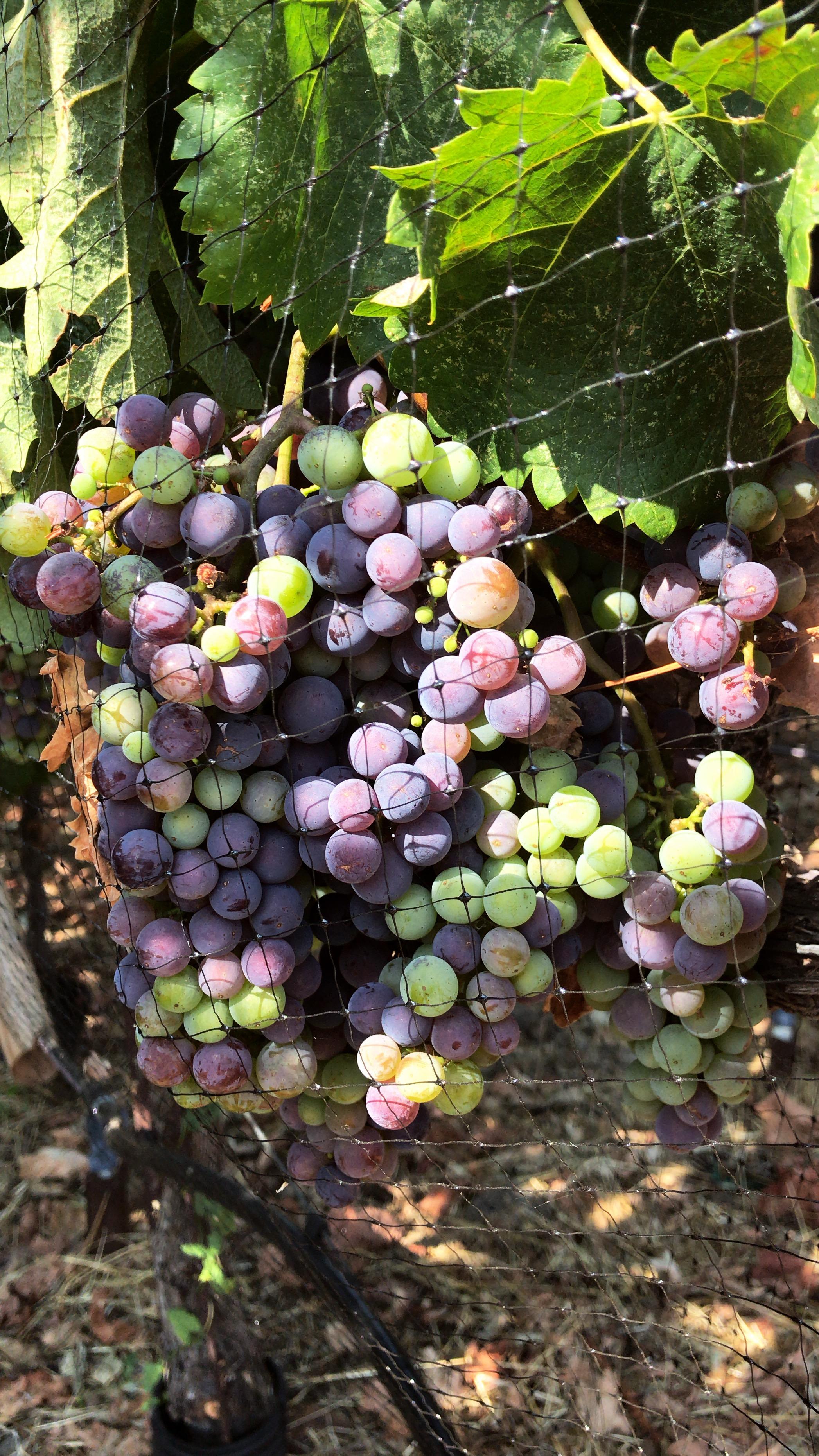 Grapes on vine ripening before harvest time
