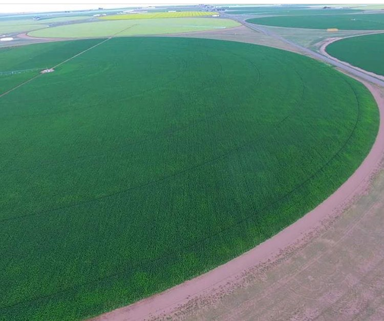 300 Acres of row crop Hemp CBD in CO on pivot irrigation