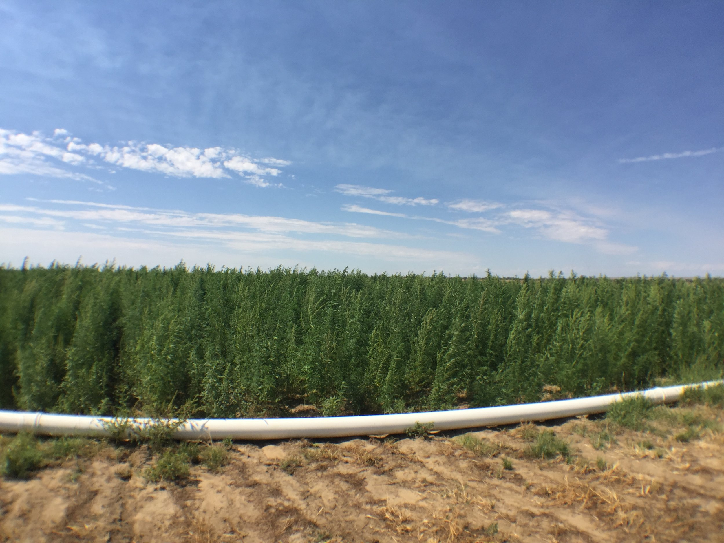 Side View of 300 Acre Hemp Field in CO with Flood Irrigation (Tubing shown at bottom)
