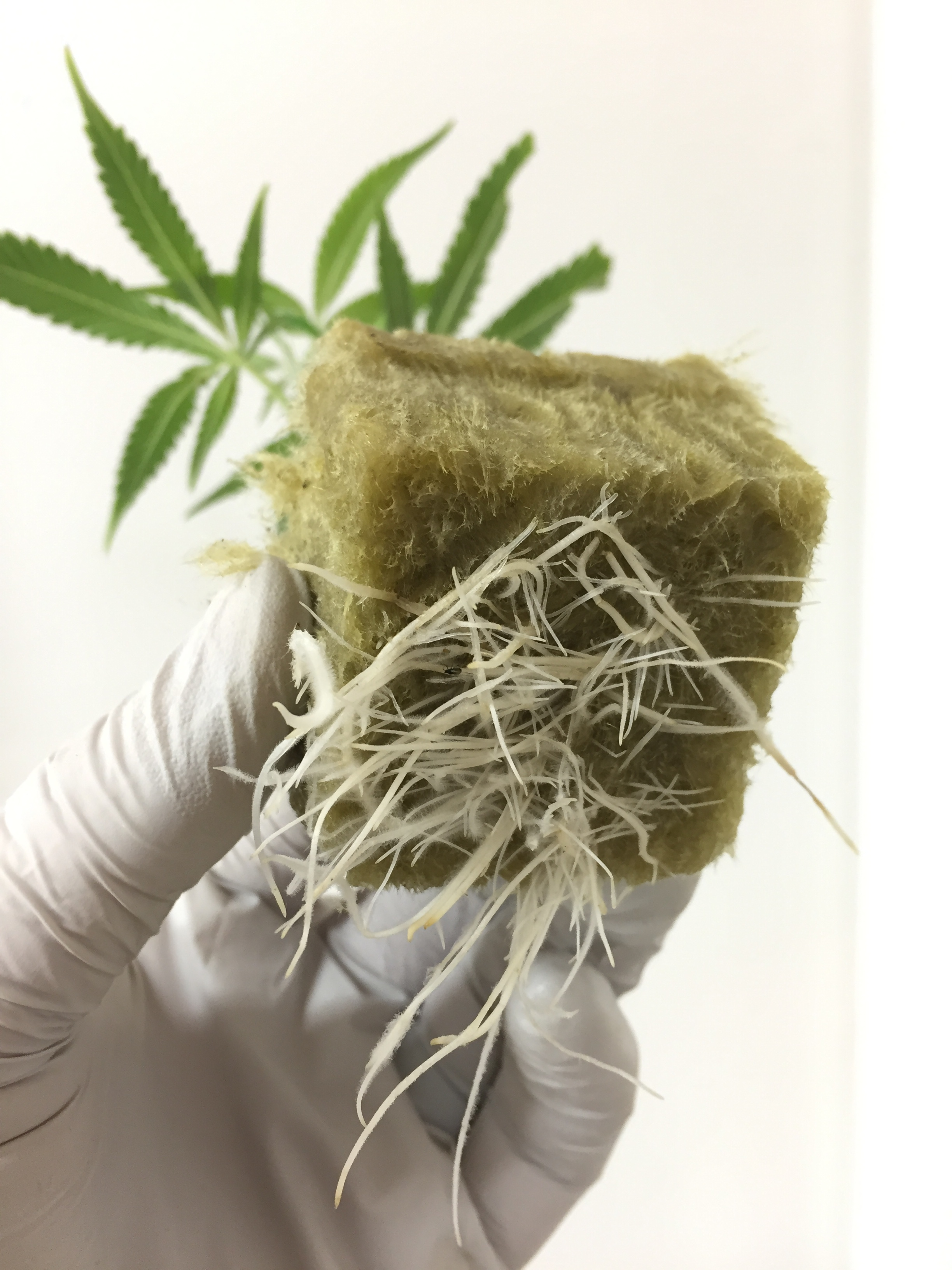 Clone with blown out roots using Boomspharm Cultivation Methods