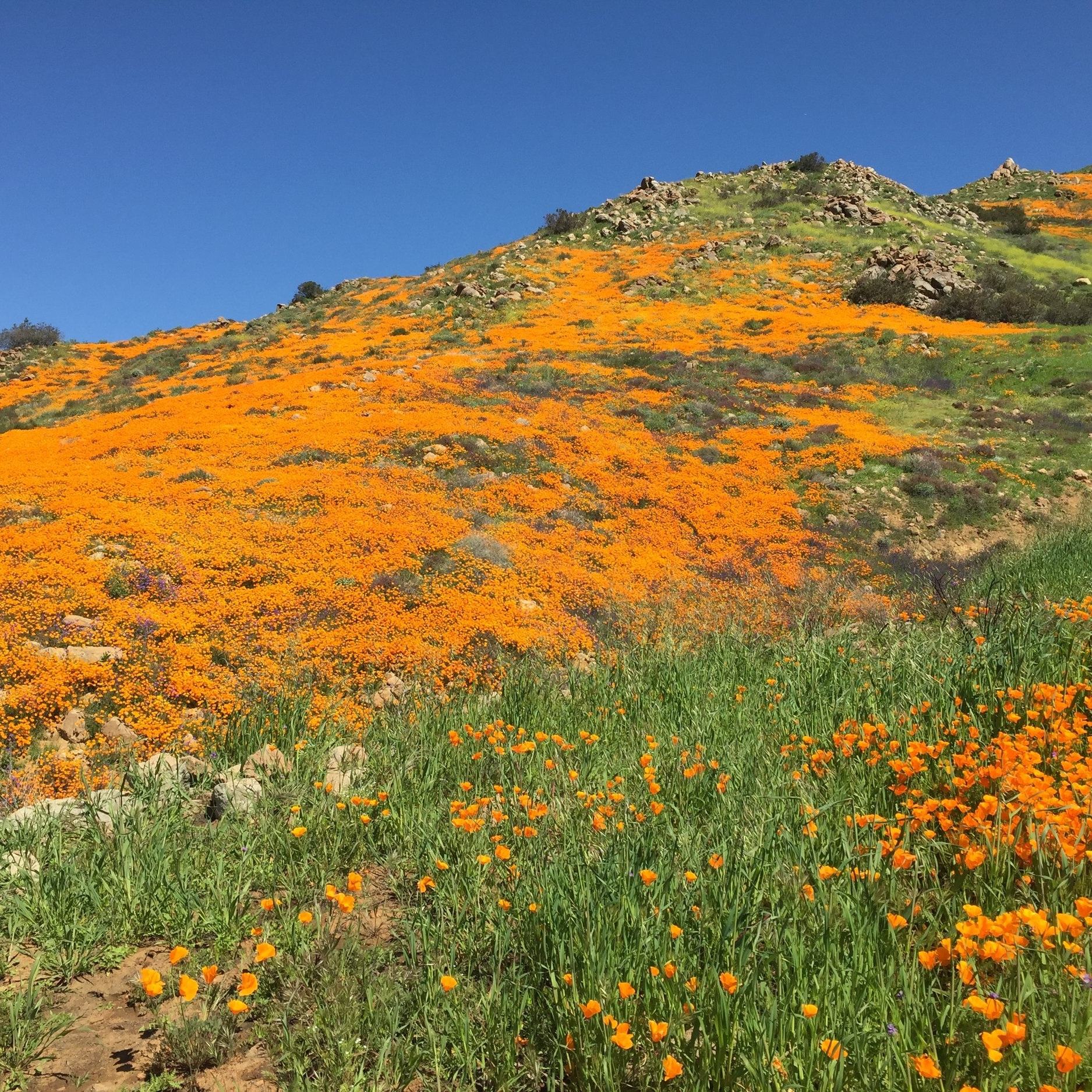 Poppy Flower Super Bloom in April. Temescal Valley, CA.