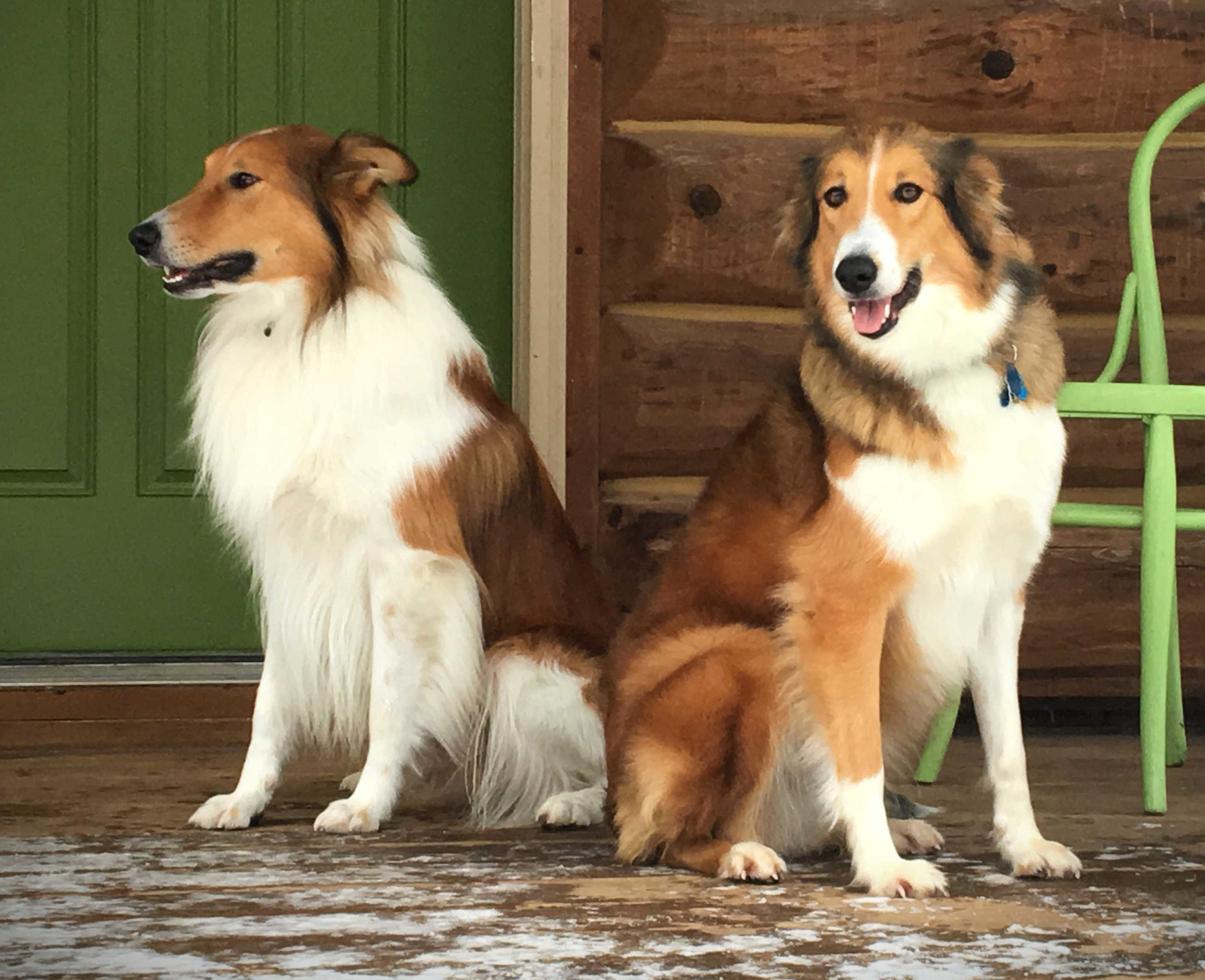 Info About Our Scotch Collie Puppies Hycottage Farm
