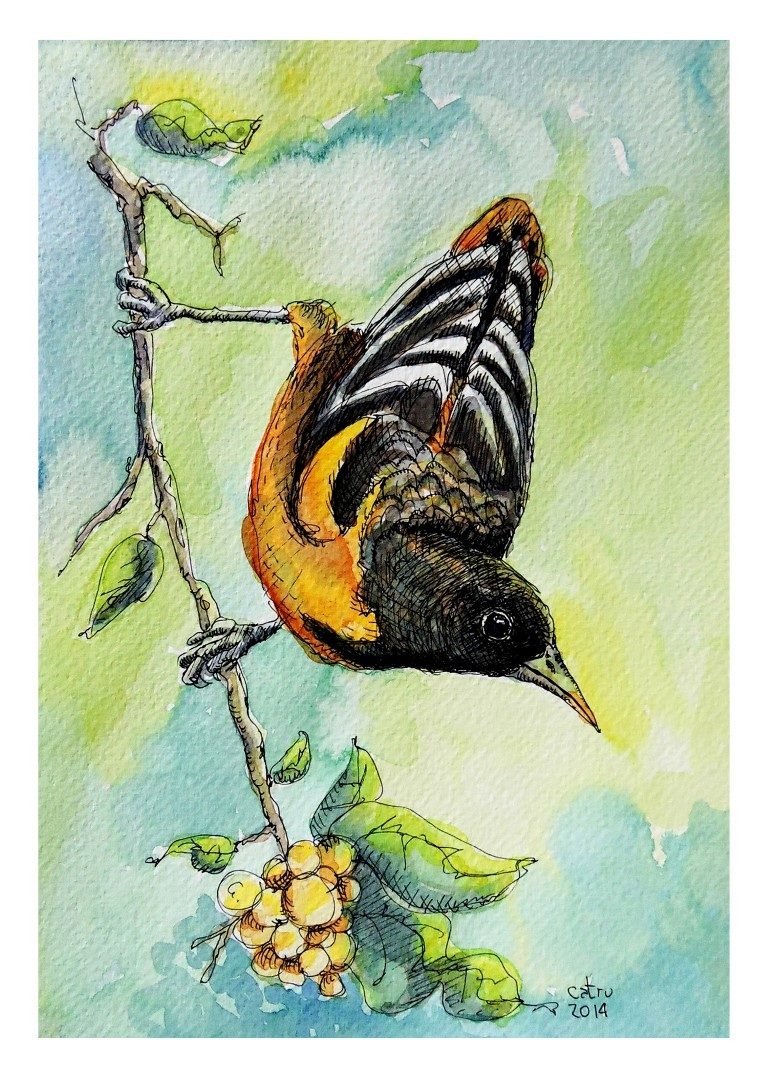 Prints 5x7_con borde blanco_BaltimoreOriole (Medium).jpg
