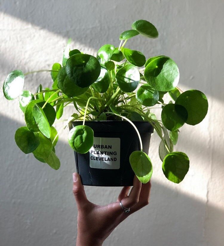 Pilea peperomioides aka the Chinese Money Tree: just one of the unique plant species you'll find at Urban Planting Cleveland