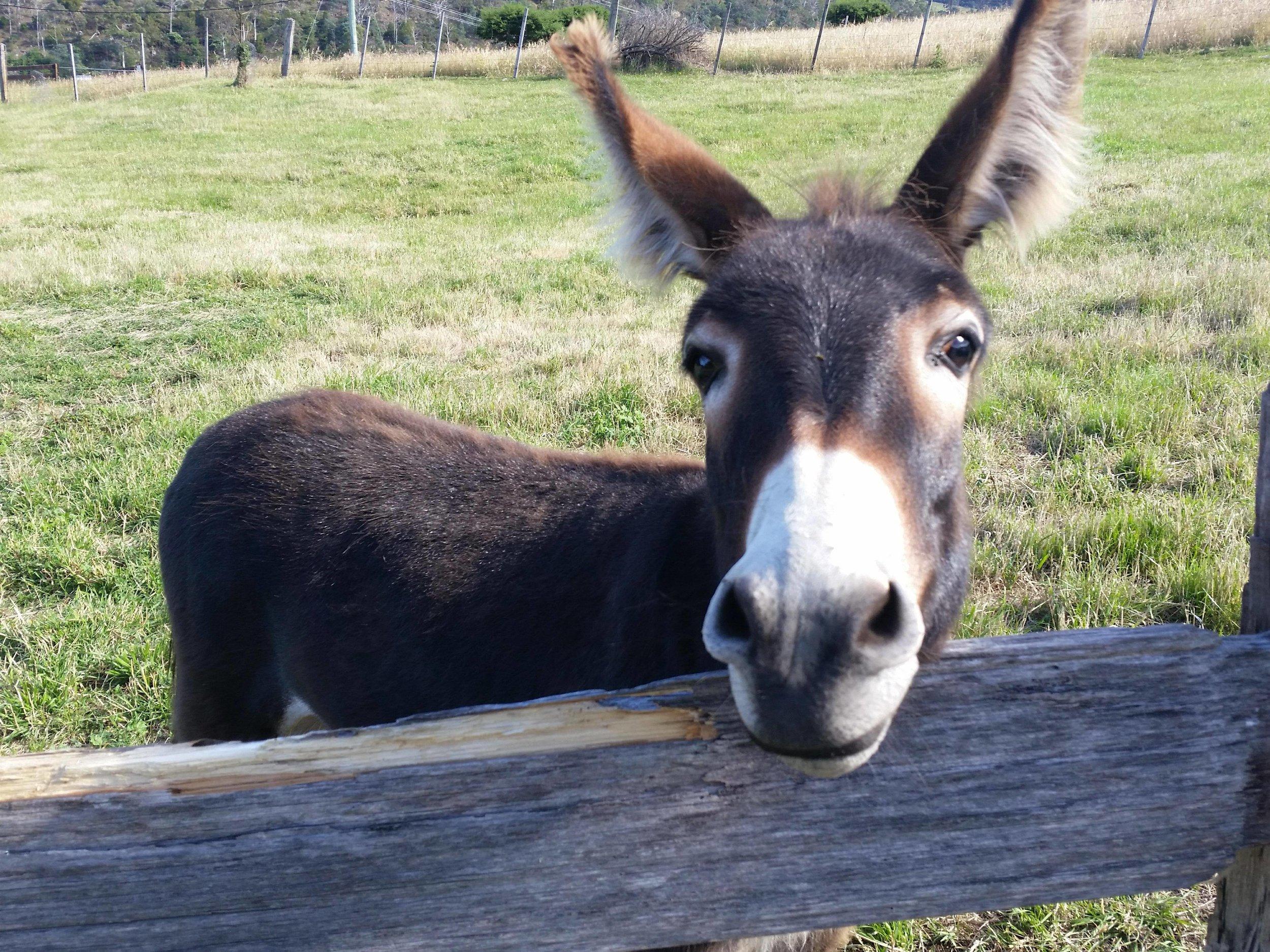 Coco the donkey