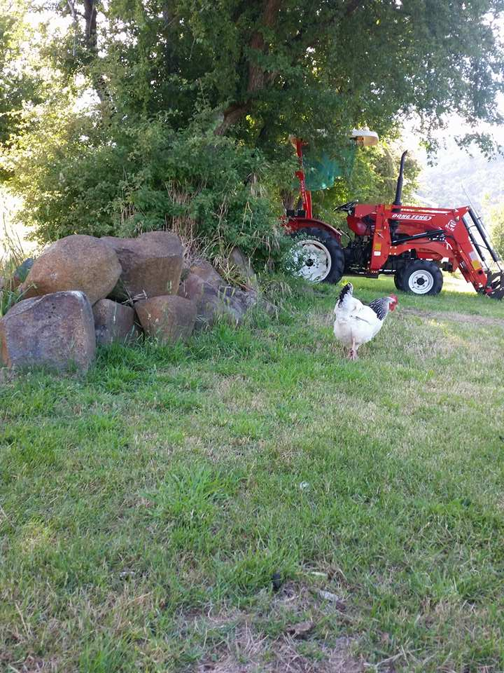 Our tractor and a chook (chicken) -