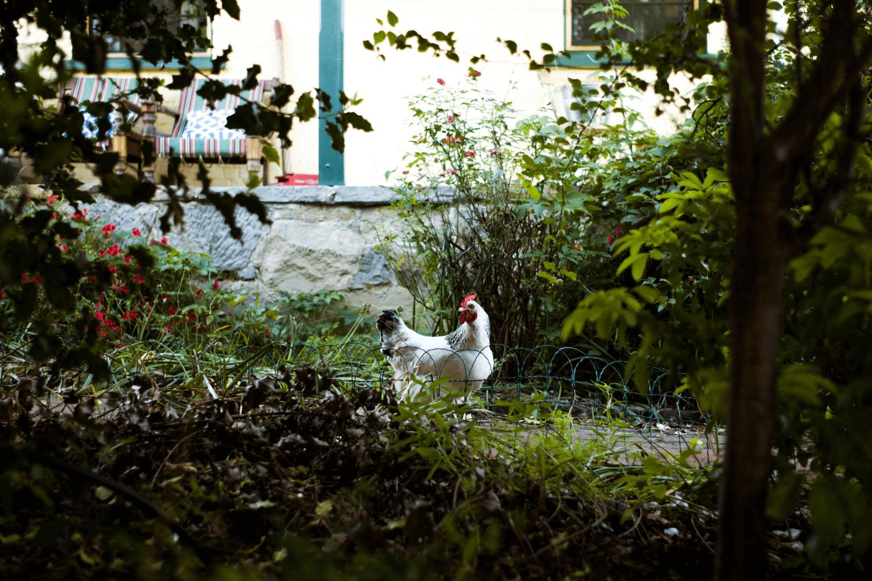 Chicken | Tasmania Farm Stay | Accommodation Tasmania