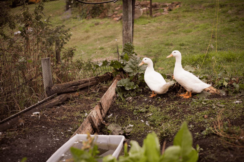 Ducks | Tasmania Farm Stay | Accommodation Tasmania