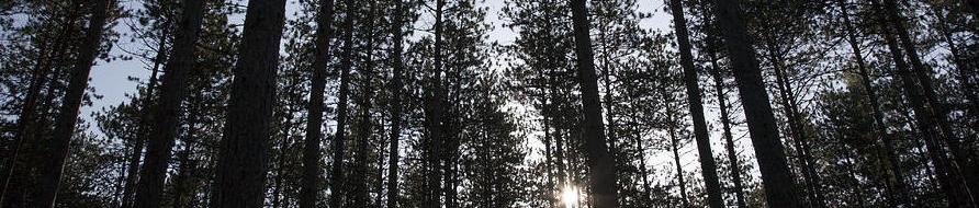 new-england-red-pine-forest-erin-paul-donovan.jpg