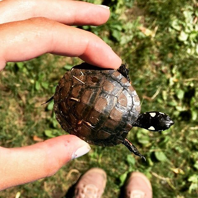 Sometimes you just stumble upon a baby turtle 🐢 🔅 🔅 🔅 🔅 #teachersofinstagram #teachersfollowteachers #forestschool #handsonlearning #paintedturtle #reptiles #turtles #outdooreducation #preschool #funintheforest